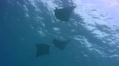 Devil ray (Mobula sp.) silhouette Stock Footage