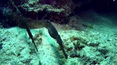 Robust ghostpipefish (Solenostomus cyanopterus) Stock Footage