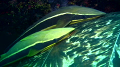 Remora or suckerfish on green sea turtle shell Stock Footage