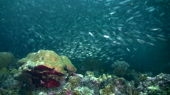 Stock Video Footage of Gigantic school of sardines or silverside (Atherinidae) over coral reef 2