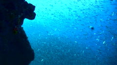 Gigantic school of sardines or silverside (Atherinidae) along wall 8 Stock Footage