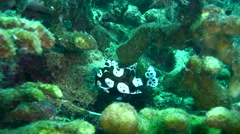 Harlequin sweetlips (Plectorhinchus chaetodonoides) young Stock Footage