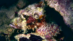 Scorpionfish on top of coral 4 Stock Footage