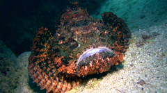 Stock Video Footage of Scorpionfish moving slowly