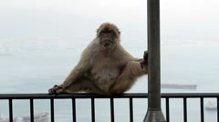 Monkey on rail Rock of Gibraltar P HD 8421 Stock Footage