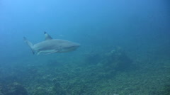 Blacktip reef shark (Carcharhinus melanopterus) swimming close by Stock Footage