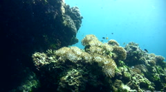 Flower soft coral (Xenia actuosa) opening and closing 4 Stock Footage