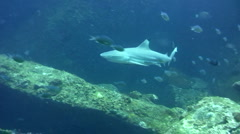 Blacktip reef shark (Carcharhinus melanopterus) swimming close by 4 - stock footage