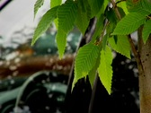 Stock Video Footage of Tree leaf to car RackFocous
