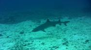 Whitetip reef shark (Triaenodon obesus) swimming Stock Footage