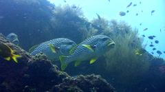 Oblique-banded sweetlips (Plectorhinchus lineatus) Stock Footage