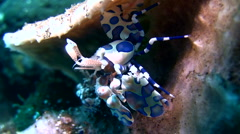 Harlequin shrimp (Hymenocera elegans) 3 Stock Footage