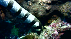 Banded sea krait (Laticauda colubrina) close up - stock footage