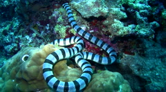 Banded sea krait (Laticauda colubrina) - stock footage