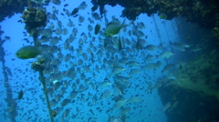 School of one spot snappers (Lutjanus monostigma) ready for the race Stock Footage