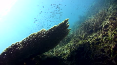 Table coral with divers Stock Footage