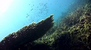 Stock Video Footage of Table coral with divers