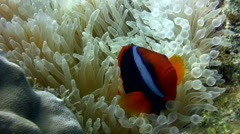 Tomato  or Bridled anemonefish (Amphiprion frenatus) in bubble anemone 2. - stock footage