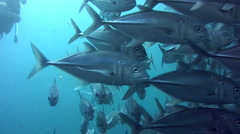 Huge school of bigeye trevally (Caranx sexfasciatus) close up 2 Stock Footage