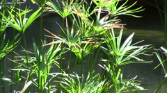 Papyrus plant Stock Footage