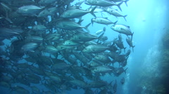 Huge school of bigeye trevally (Caranx sexfasciatus) close up 4 Stock Footage