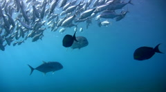 Giant trevally (Caranx ignobilis) along with bigeye trevally - stock footage