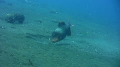 Yellow-margin triggerfish (Pseudobalistes flavomarginatus) eating on the sand Stock Footage