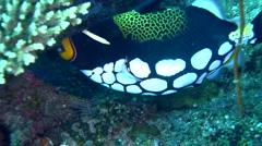 Clown triggerfish (Balistoides conspicillum) 2 Stock Footage