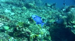 Redtooth triggerfish (Odonus niger) Stock Footage