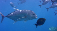Stock Video Footage of Giant trevally (Caranx ignobilis) along with bigeye trevally close up