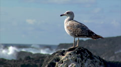 Seagull with havy surf blur background Stock Footage