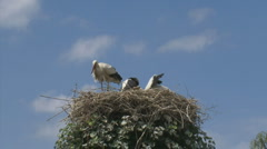 White stork bill clattering in nest Stock Footage