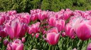 Stock Video Footage of Spring Tulips in flower garden Kekenhof, Netherlands