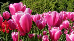 Spring Tulips in flower garden Kekenhof, Netherlands - stock footage