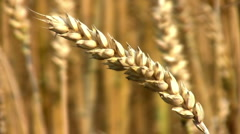 Wheat  Close Up and Wide Stock Footage