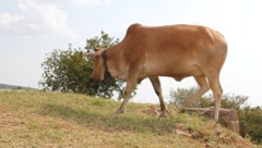 low angle view of an african cow grazing (HD) - stock footage