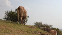 Maasai Cow Grazing By Itself  (HD) - stock footage