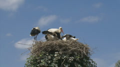 Stock Video Footage of white stork in nest with offspring 169
