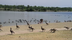Father son at the lake with geese Stock Footage
