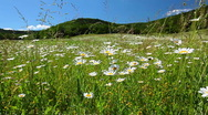 Field of camomile Stock Footage