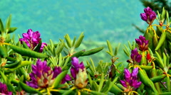 Mountain flower rhododendron Stock Footage