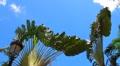 Puerto Rico-Madagascar Banana Palm Tree - Ravenala madagascariensis Footage
