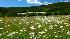 field of camomile - stock footage