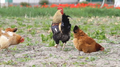 Beautiful Rooster and chickens Stock Footage