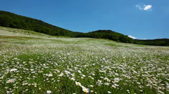 valley with camomile flowers - stock footage