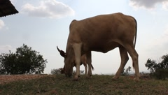 Brahma Masai Cow Grazing (HD) - stock footage