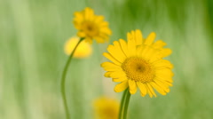 Yellow daisie Stock Footage