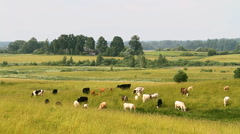 herd cows - stock footage