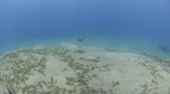 Extreme wide view to medium rear view of spotted eagle ray Stock Footage