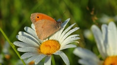 Butterfly and camomile in morning dew Stock Footage